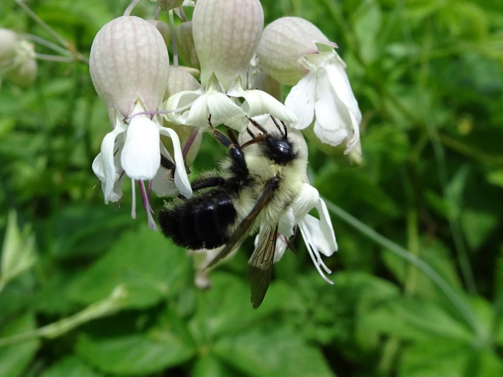 A bumblebee pollinating a flower called white campion.