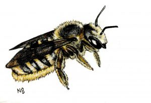 A drawing of a native bee